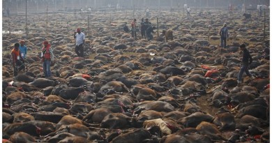 beef-slaughter-by-Hindus in Nepal festival